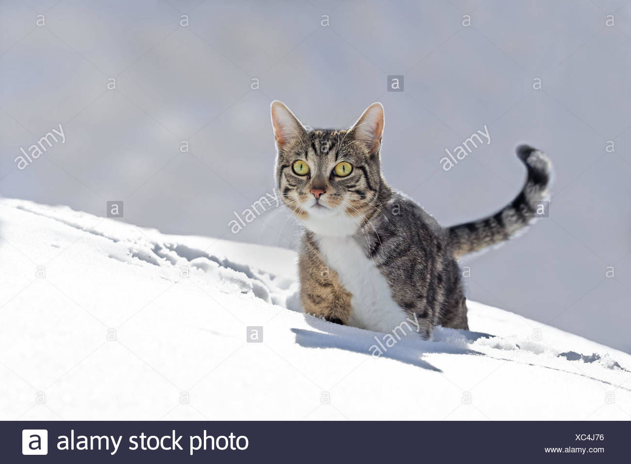 Cats, snow, run, play animal, pet, house cat, EKH, day release prisoner, one, striped, running into space, look view, carefully, curiosity, interest, snow-covered, wintry, winter, outside, deep snow, go, wade, head-on, - Stock Image