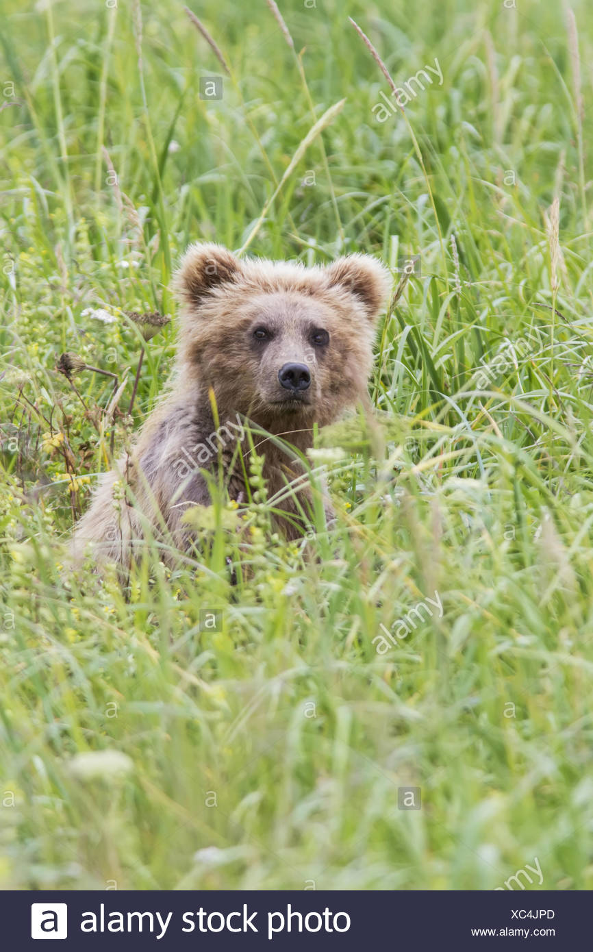Grizzly Bear In Sedge Grass Near Chinitna Bay In Lake Clark National Park, Southcentral Alaska, Summer - Stock Image