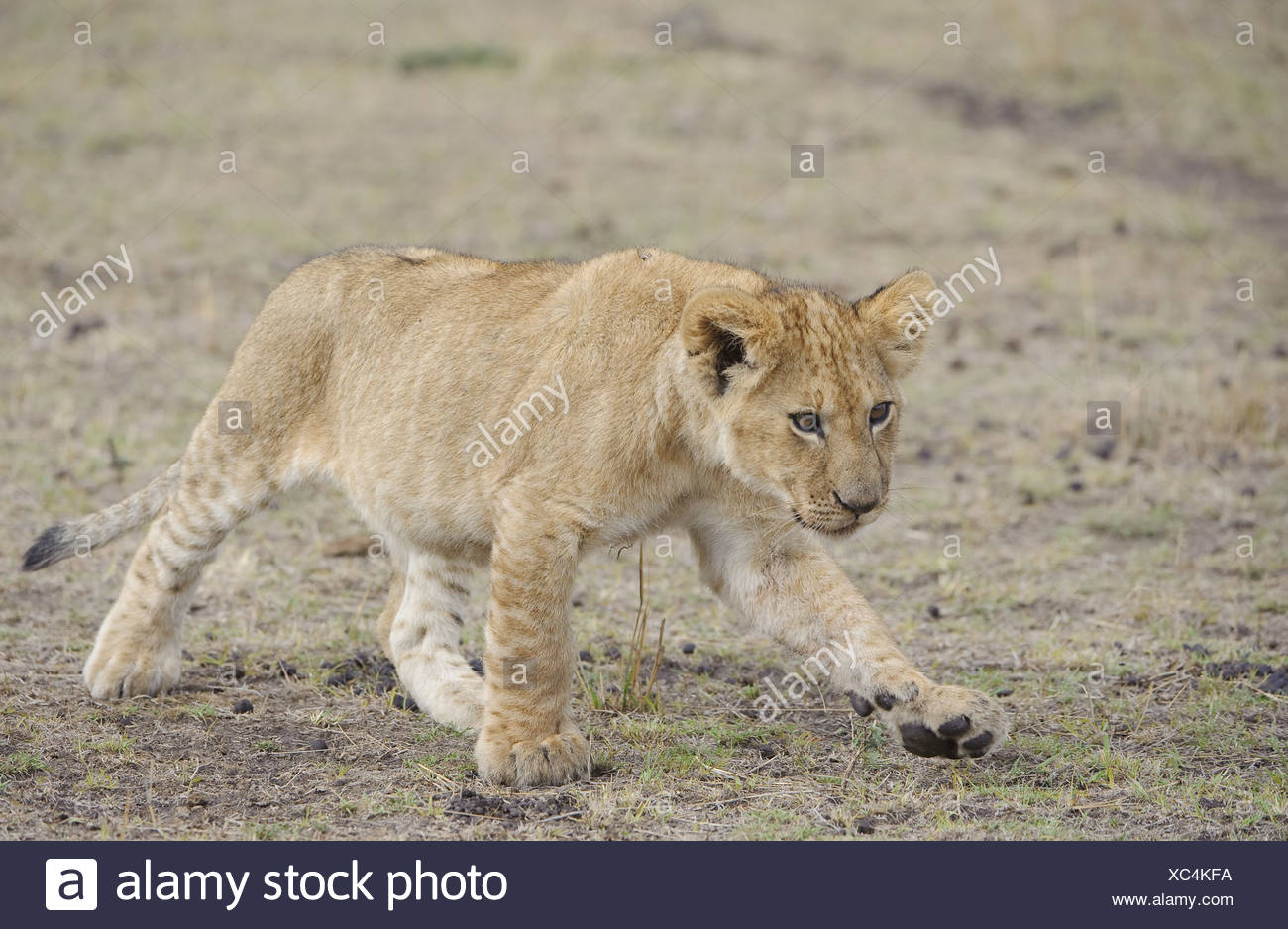 cubs cute energy fight fun kenya leo lion masai mara migration
