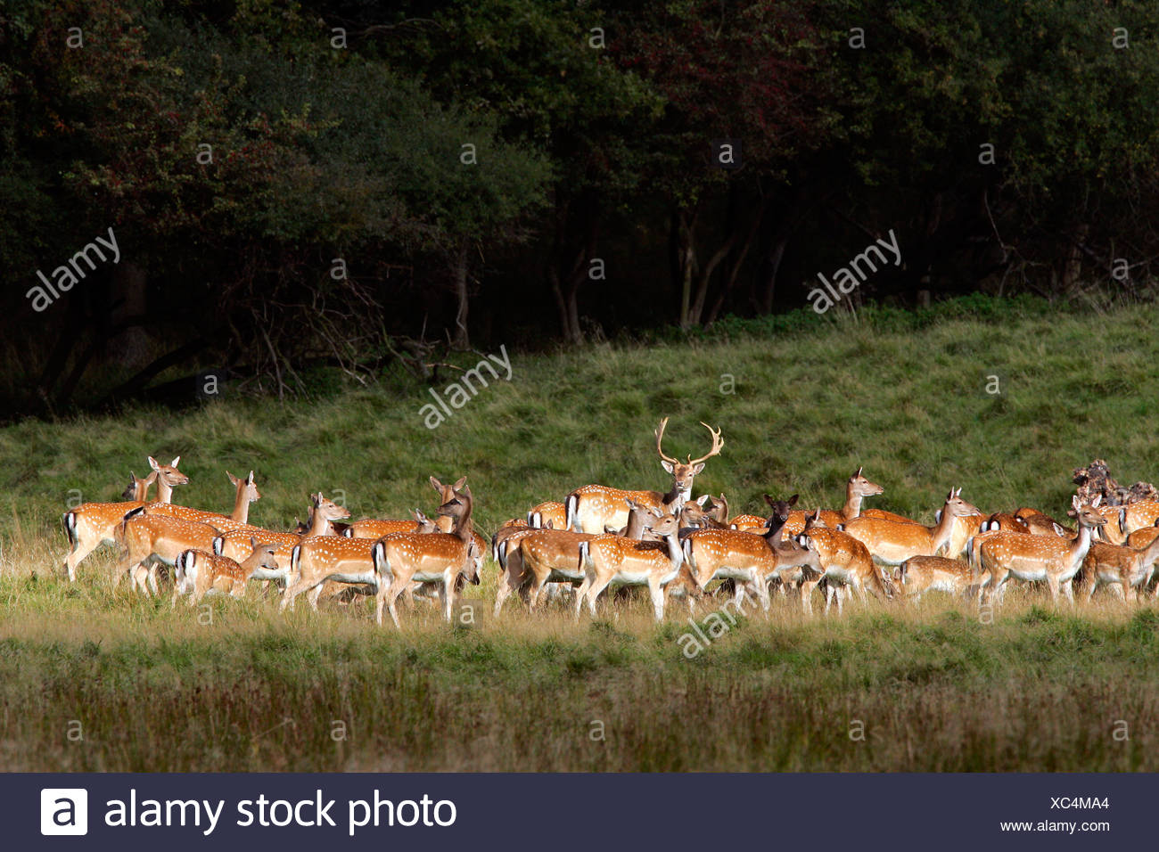Fallow deers - male with females during the rut - stag with hinds - (Cervus dama) (Dama dama) Stock Photo