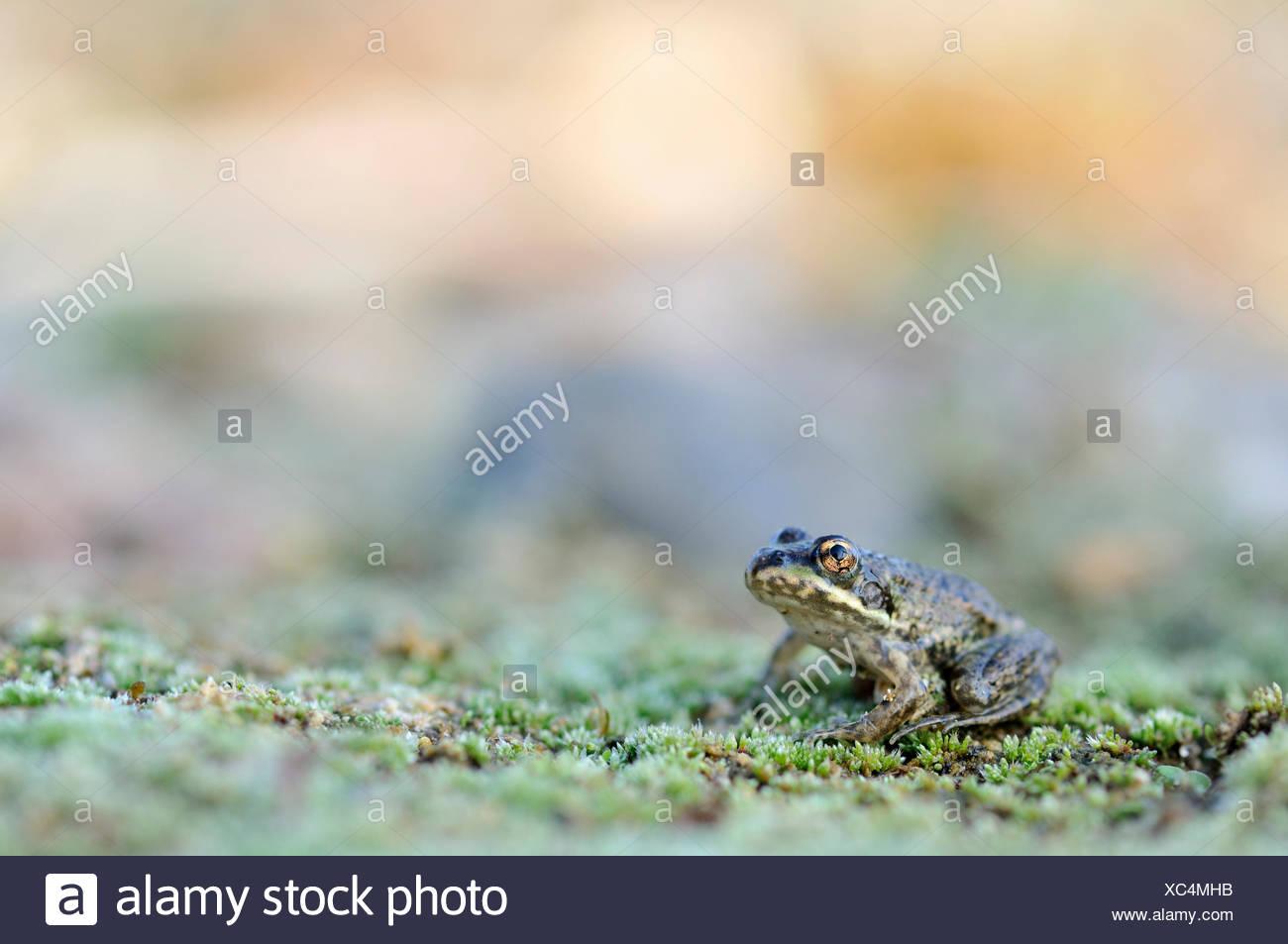 Juvenile Pond Frog (Pelophylax kl. Esculentus, Pelophylax esculentus, Rana esculenta) in a gravel pit near Leipzig, Saxony - Stock Image