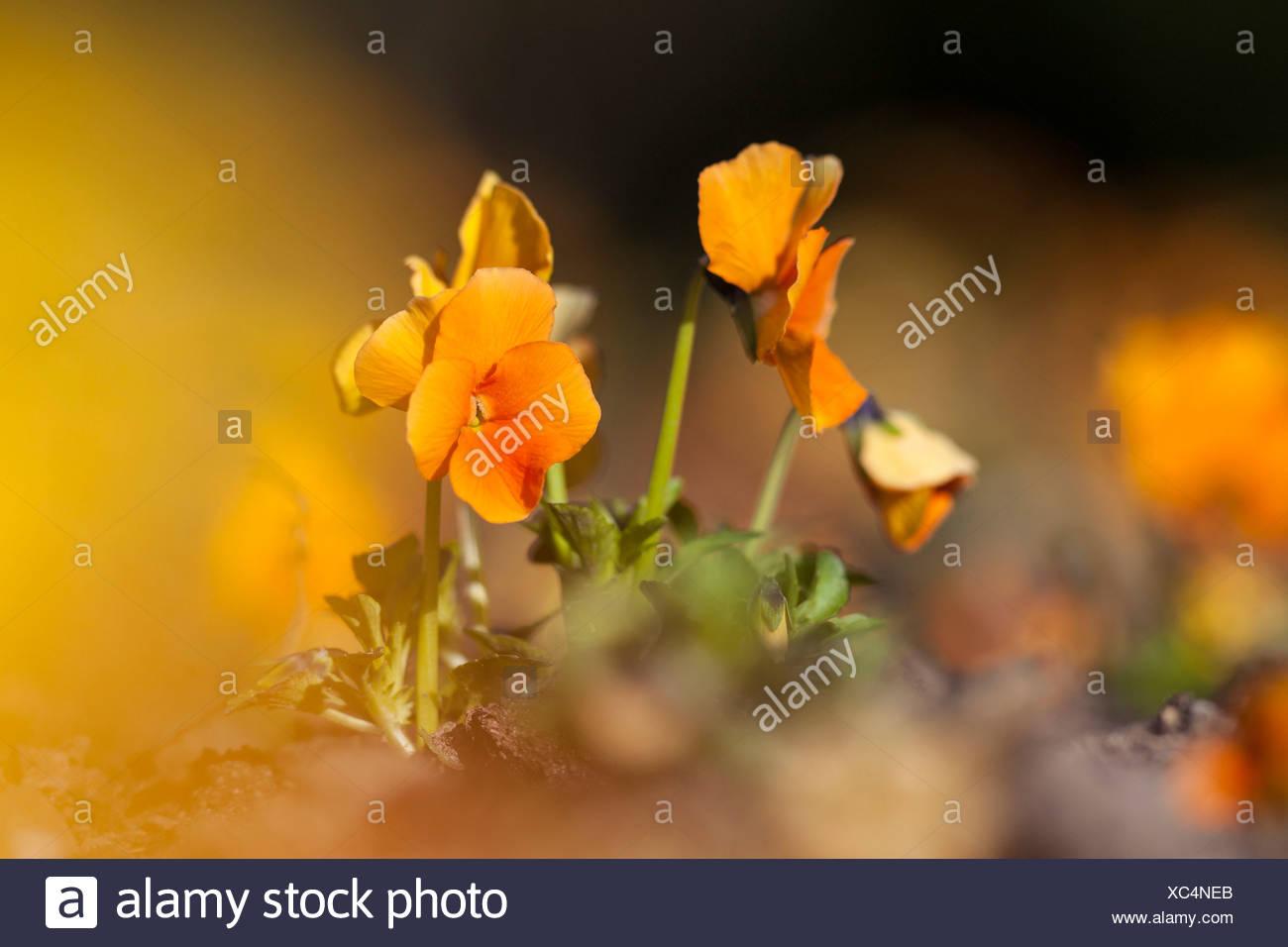 Garden Pansy (Viola wittrockiana), Kassel, Kassel, Hesse, Germany - Stock Image