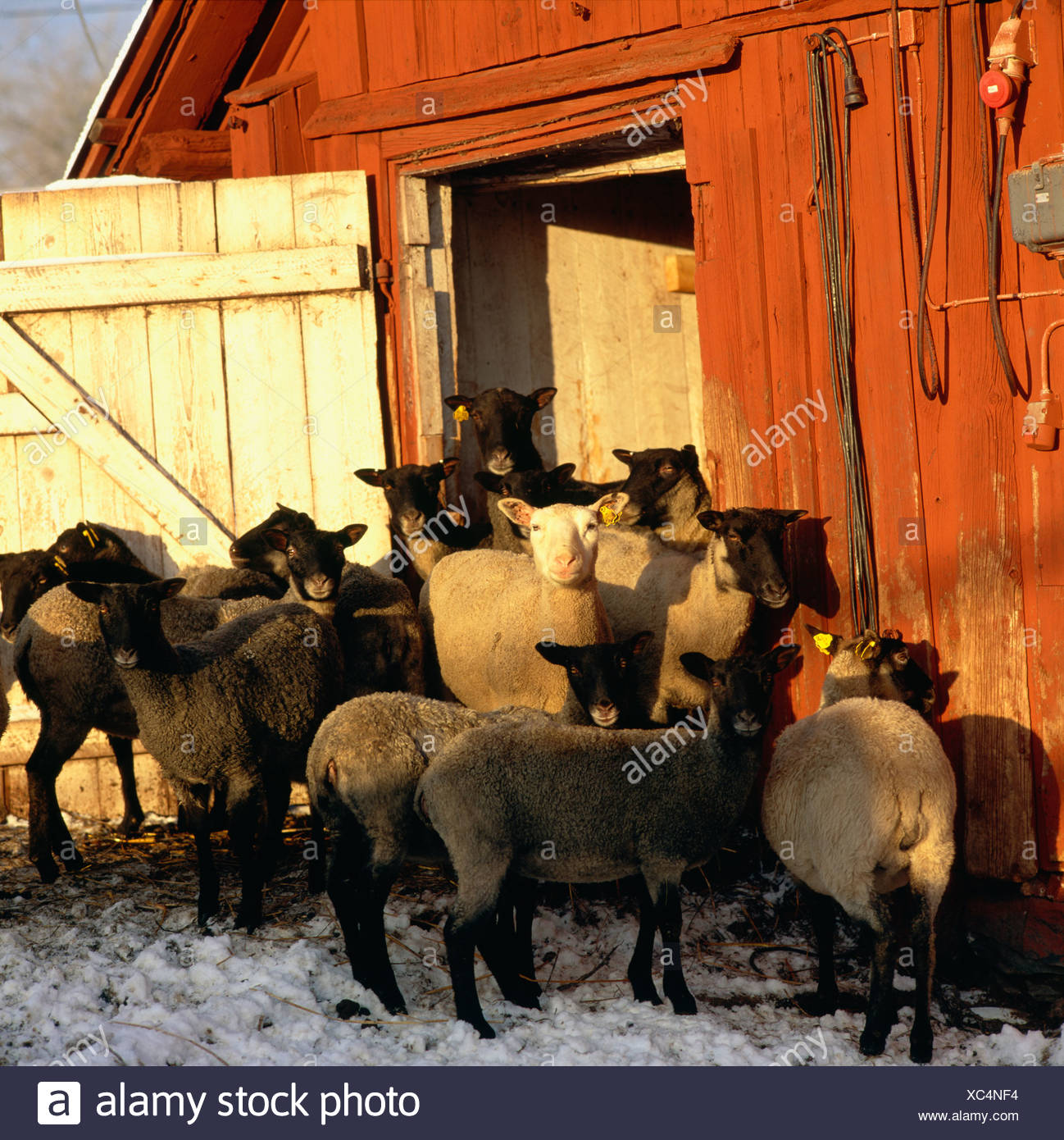 Sheep at a farm, Sweden. - Stock Image