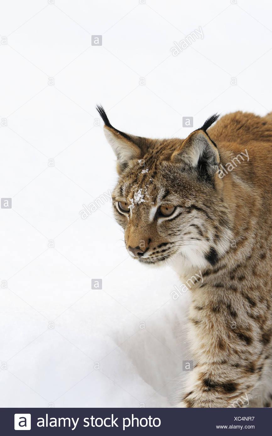 European lynx in winter, Bavarian Forest National Park, Germany Stock Photo