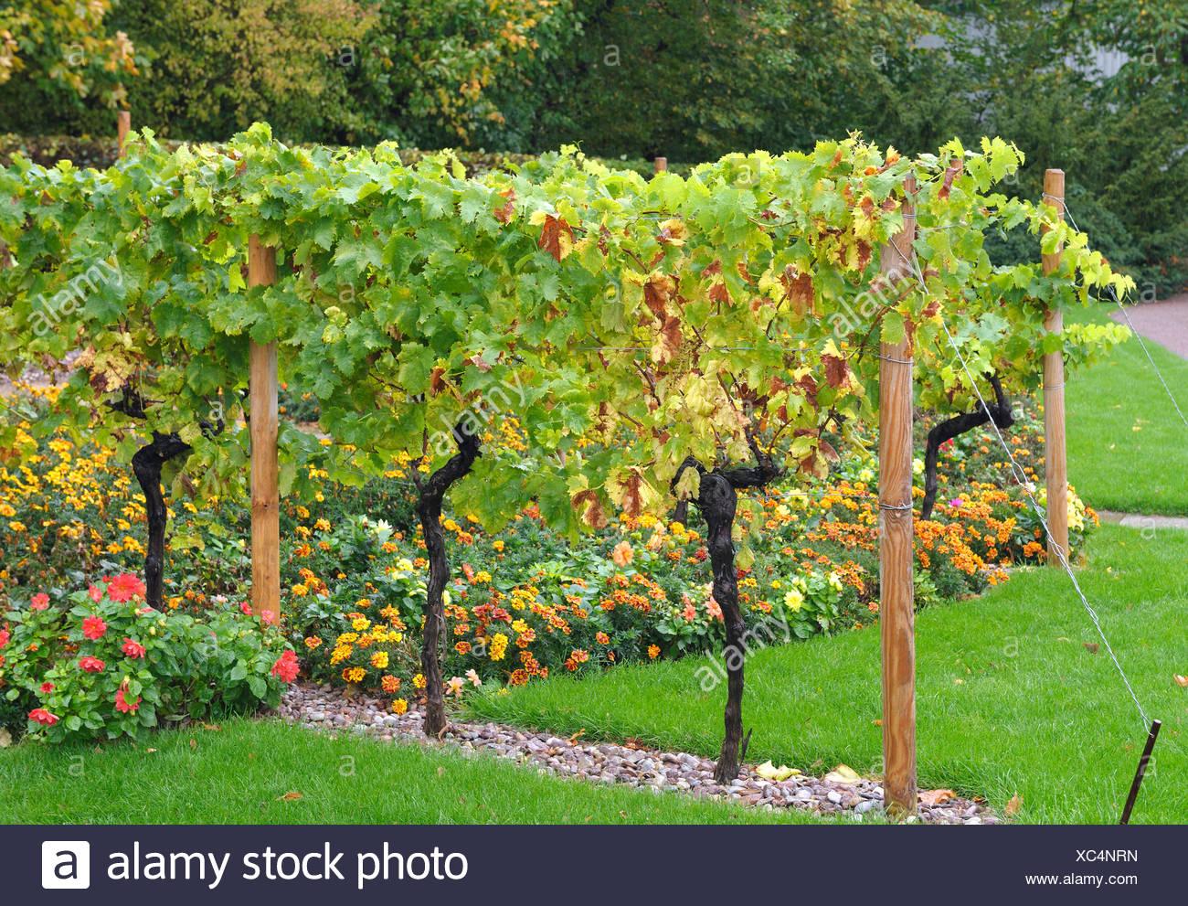 grape-vine, vine (Vitis vinifera), vine espalier, Germany - Stock Image