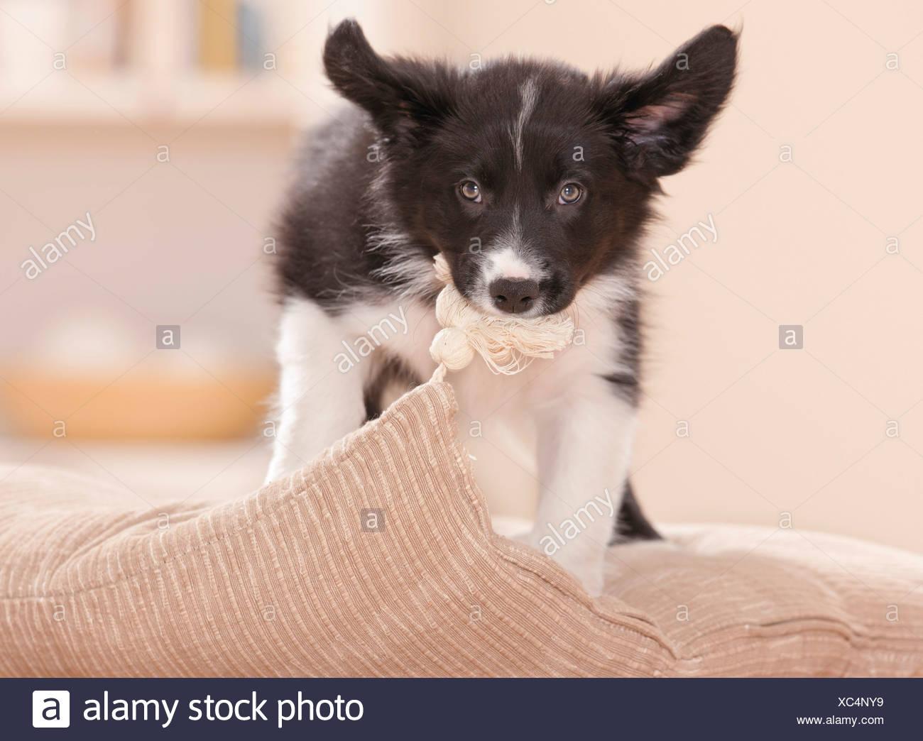 Bad Habit: Border Collie Puppy Biting Pillow