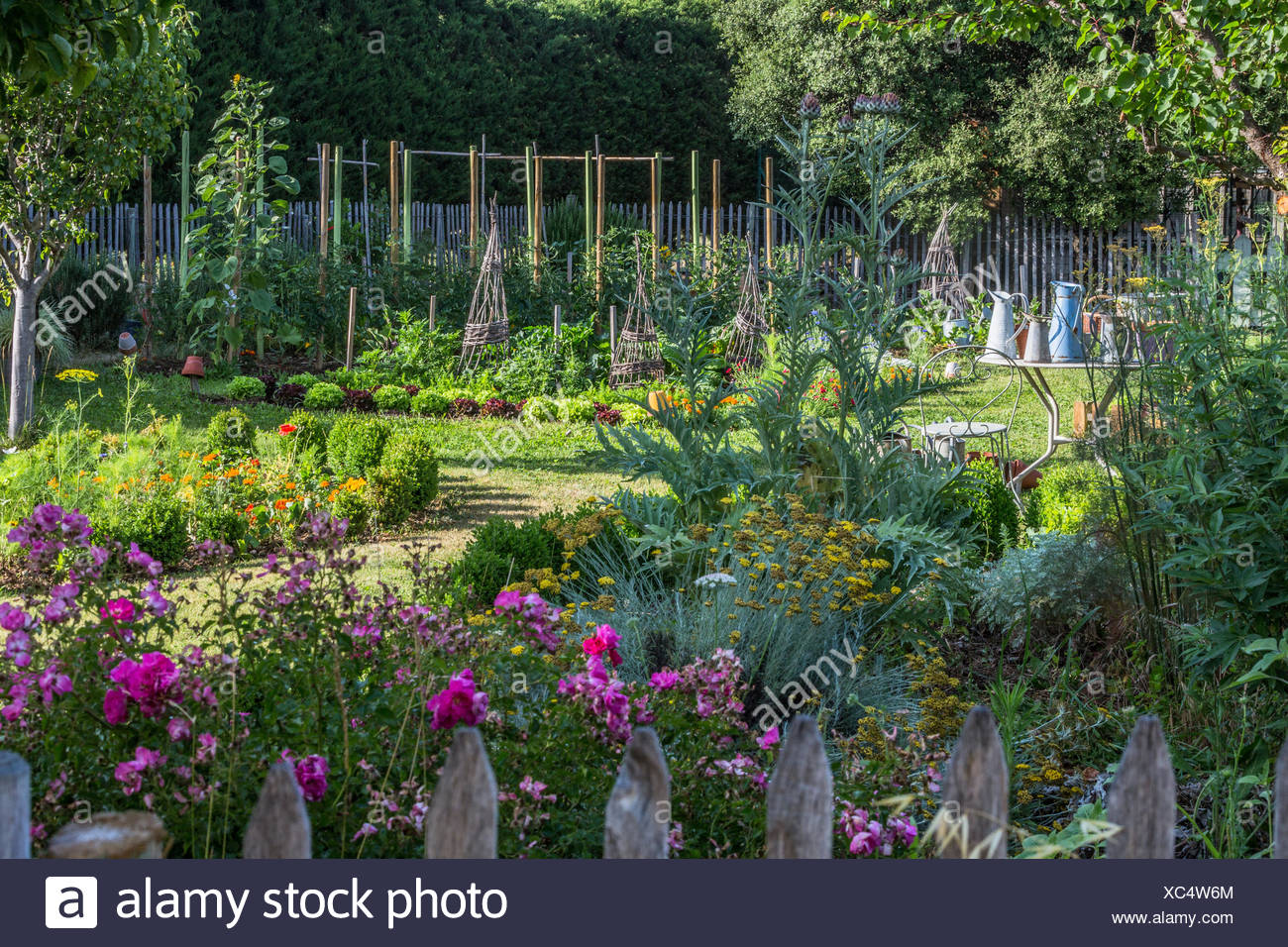 Rose-tree 'Néon' in bloom in a kitchen garden - Stock Image