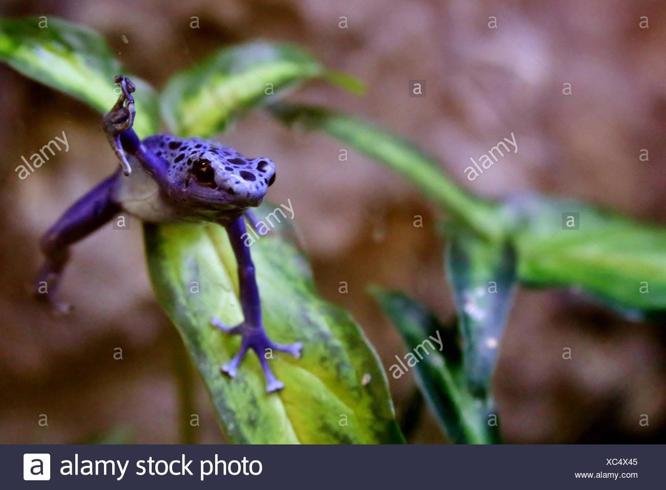 Purple Tree Frog On Plant In Forest Stock Photo