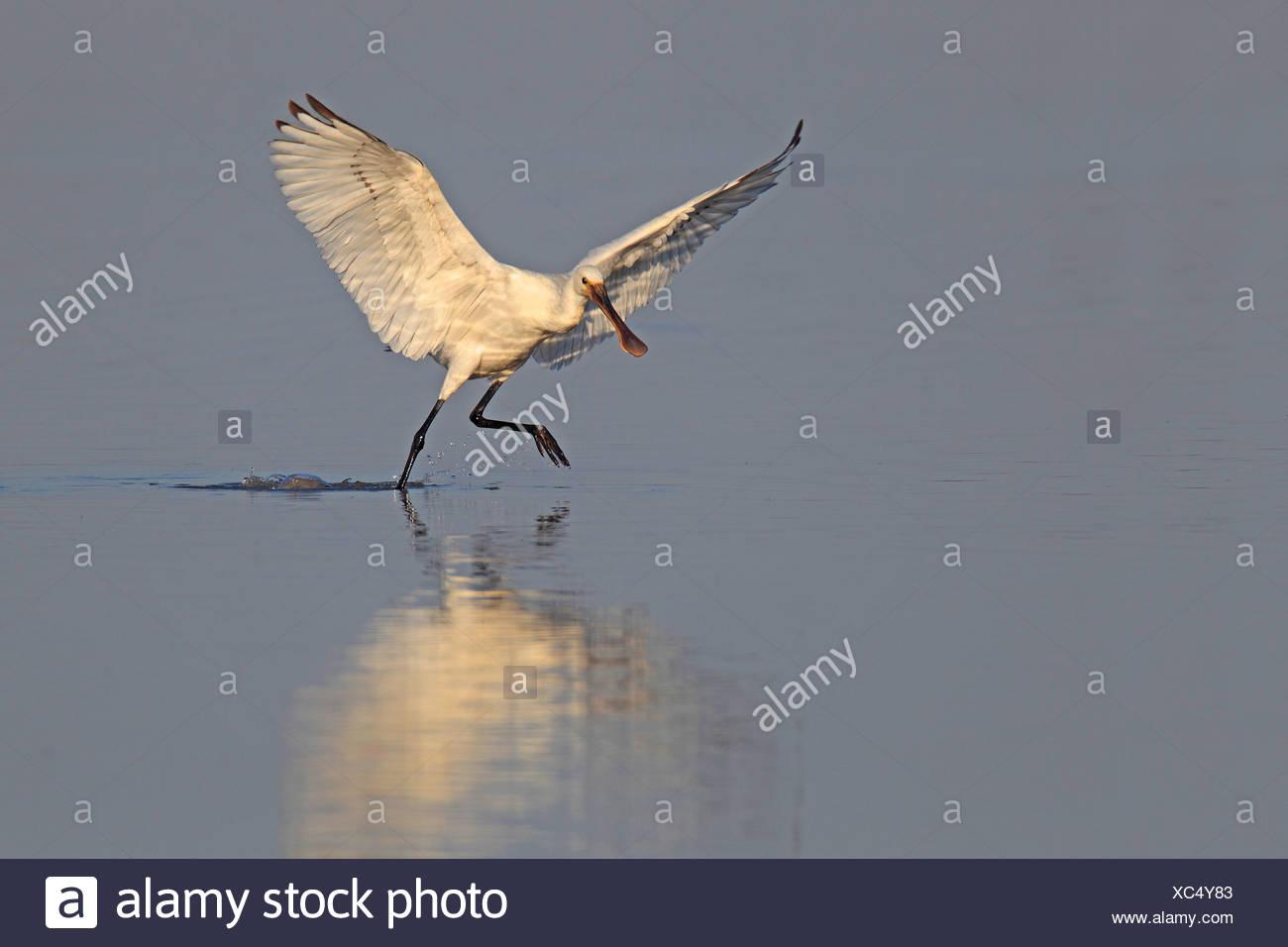 white spoonbill (Platalea leucorodia), young bird starting to fly away, Netherlands, Flevoland - Stock Image