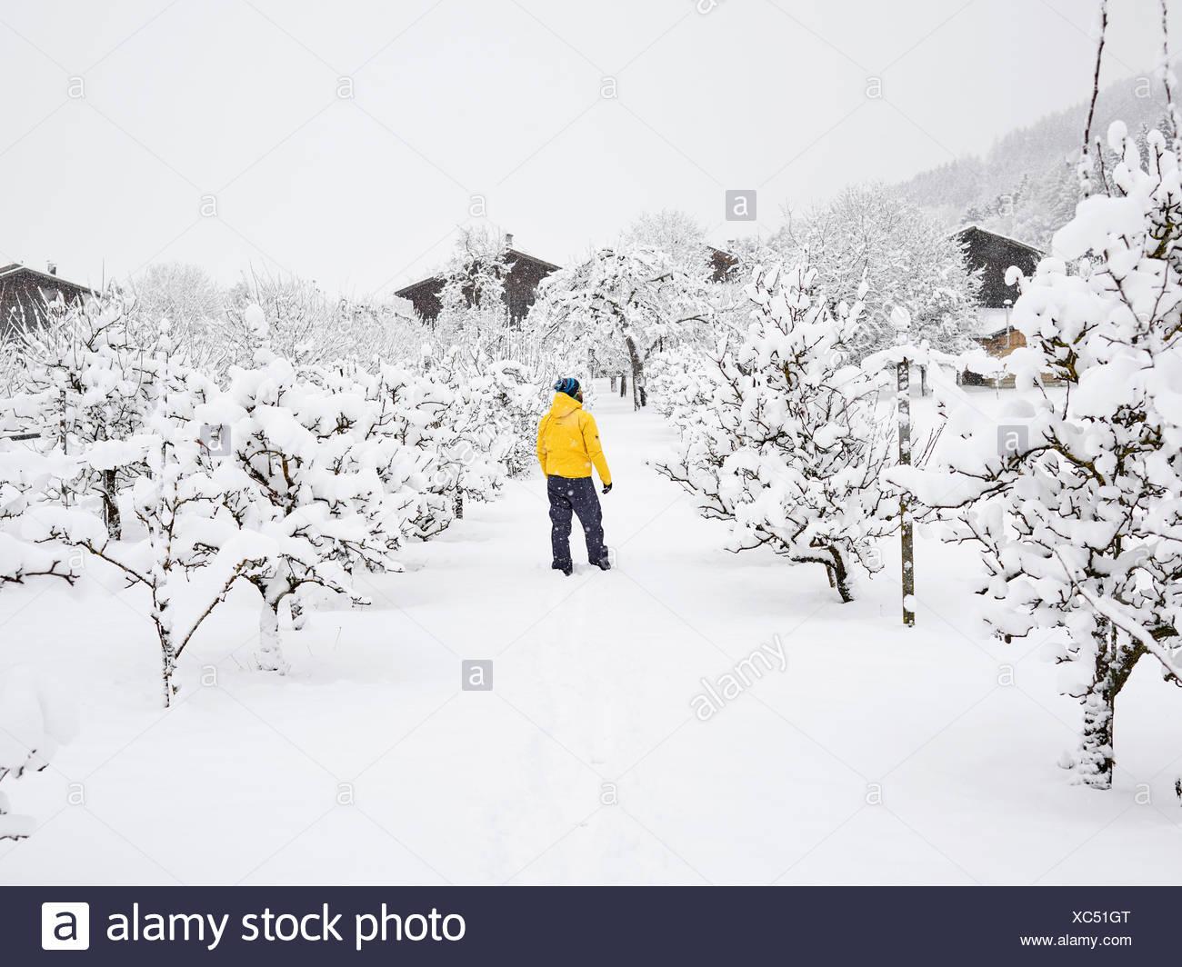 Man with yellow winter jacket in orchard, winter, snow, Kolsass, Tyrol, Austria - Stock Image