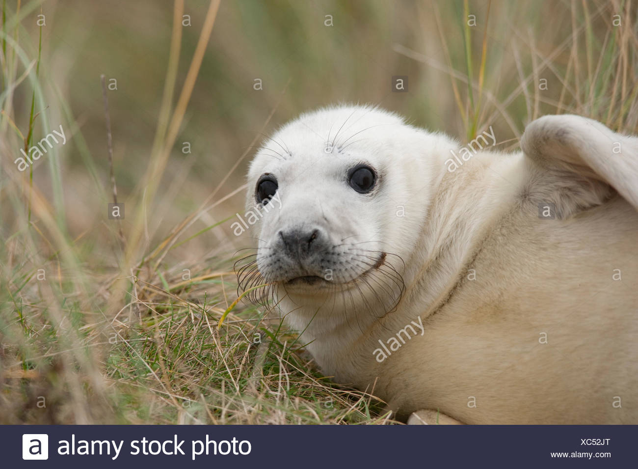 Grey Seal Halichoerus grypus Donna Nook UK Stock Photo
