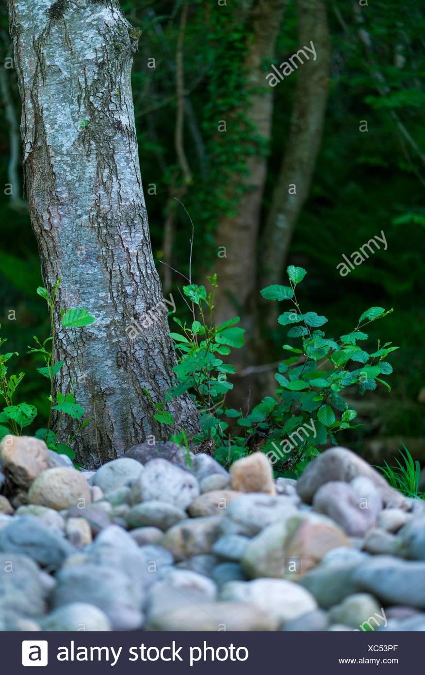 ALDER - ALISO (Alnus glutinosa), the common alder, black alder, European alder or just alder, is a species of tree in the family Betulaceae, native - Stock Image