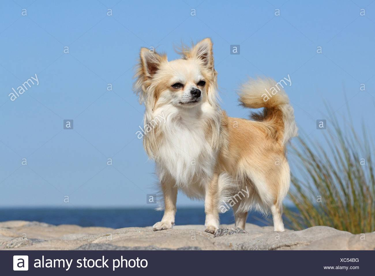 longhaired Chihuahua - Stock Image