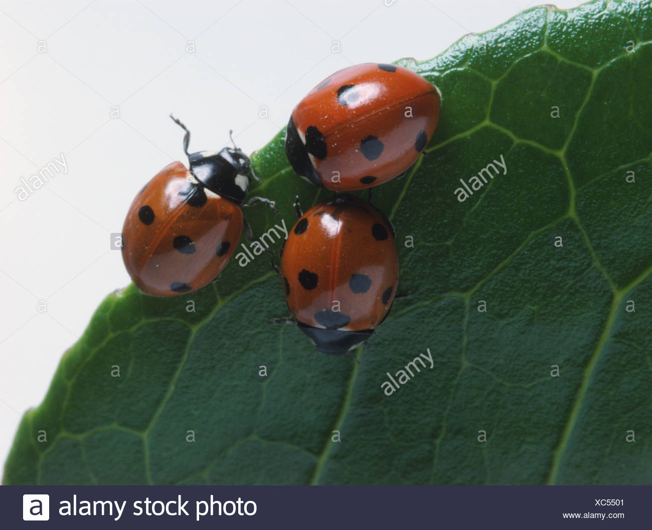 Three ladybirds sitting together on green leaf, red wing cases with