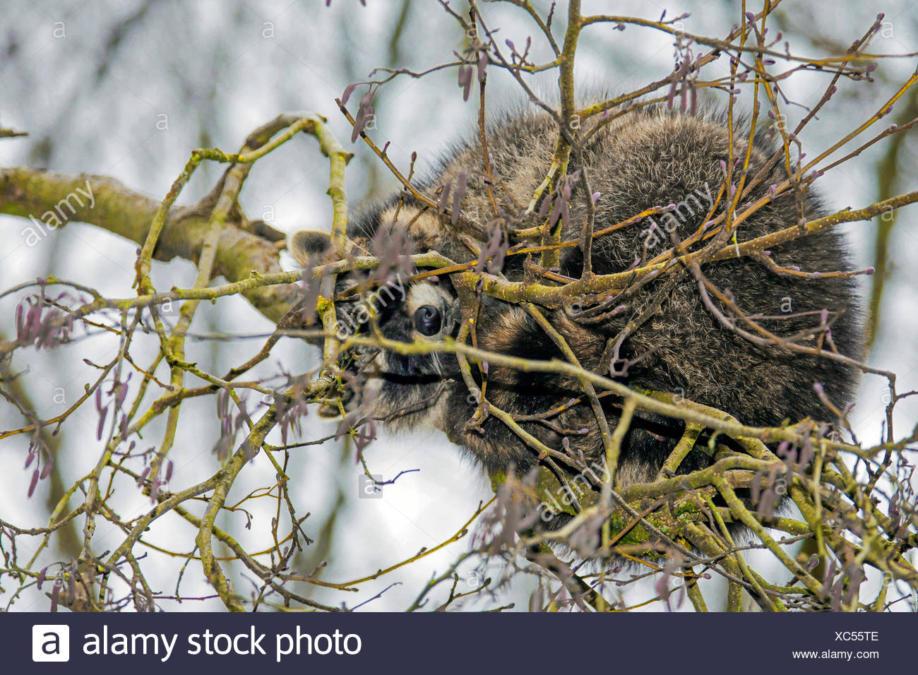 Waschbaer (Procyon lotor), schlaeft in einer Astgabel, Deutschland | common raccoon (Procyon lotor), sleeps in a branch fork, Ge - Stock Image