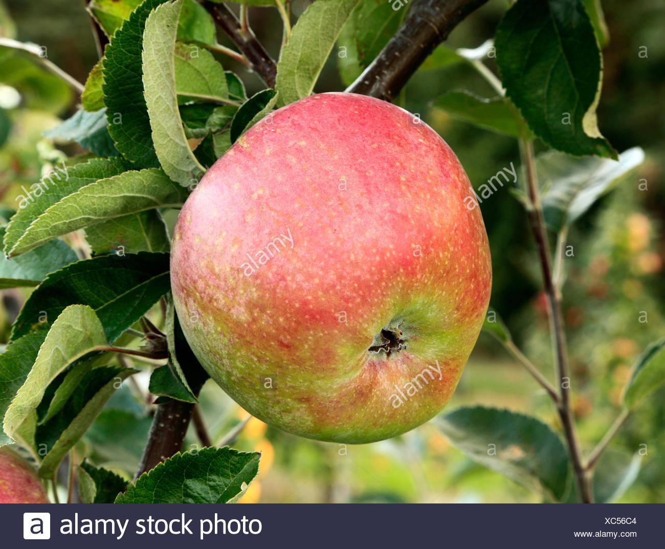 Apple 'Morley's Seedling', malus domestica, apples variety varieties growing on tree Norfolk England UK - Stock Image
