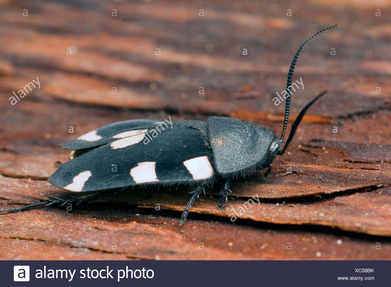 Indian domino cockroach (Therea petiveriana), on bark - Stock Image