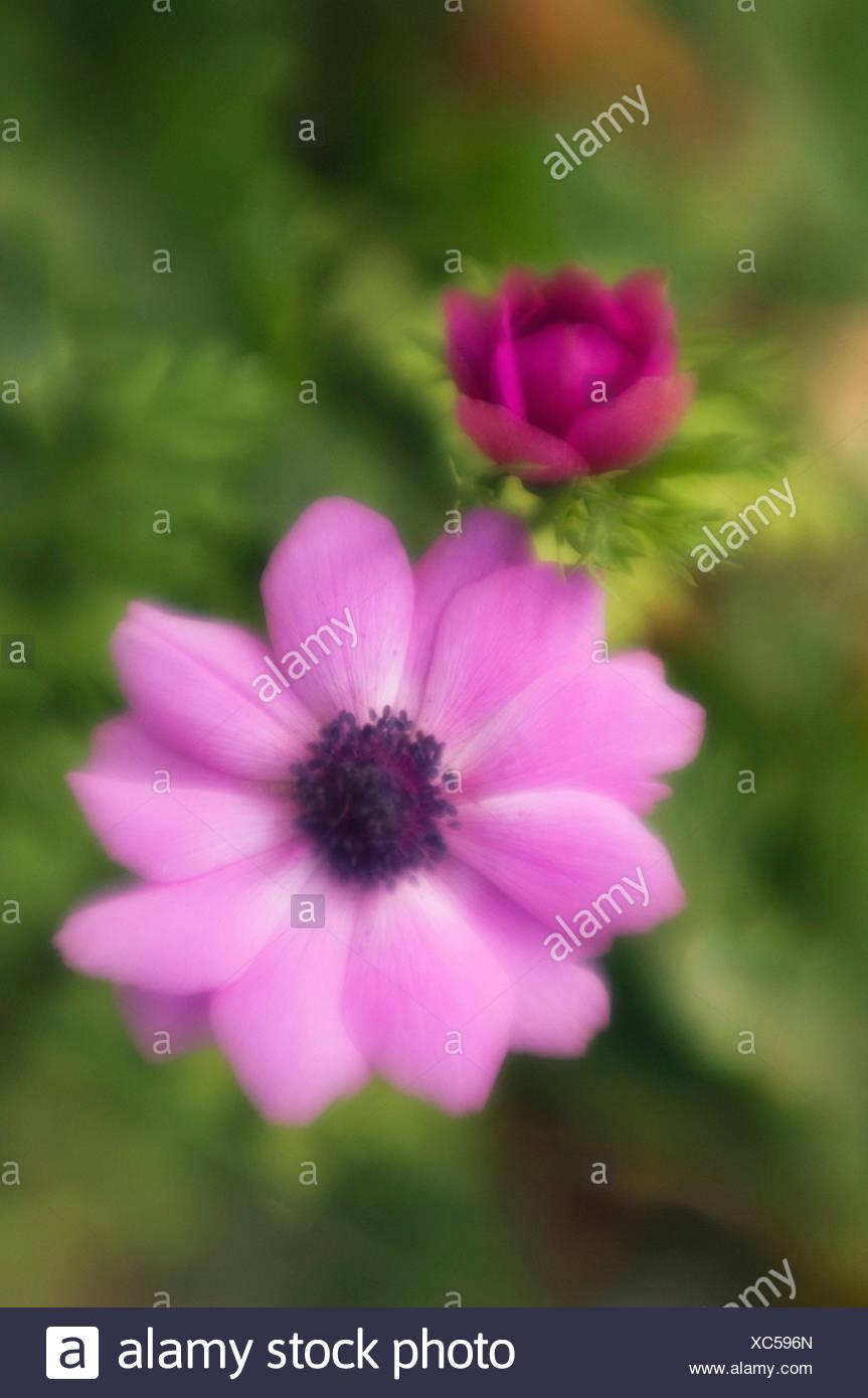 Anemone coronaria, Anemone - Stock Image