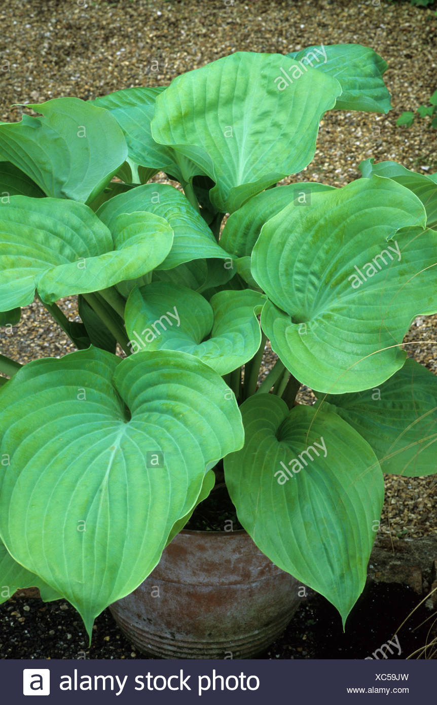 Hosta Sum And Substance Foliage Plant Funkia Plantain Lily