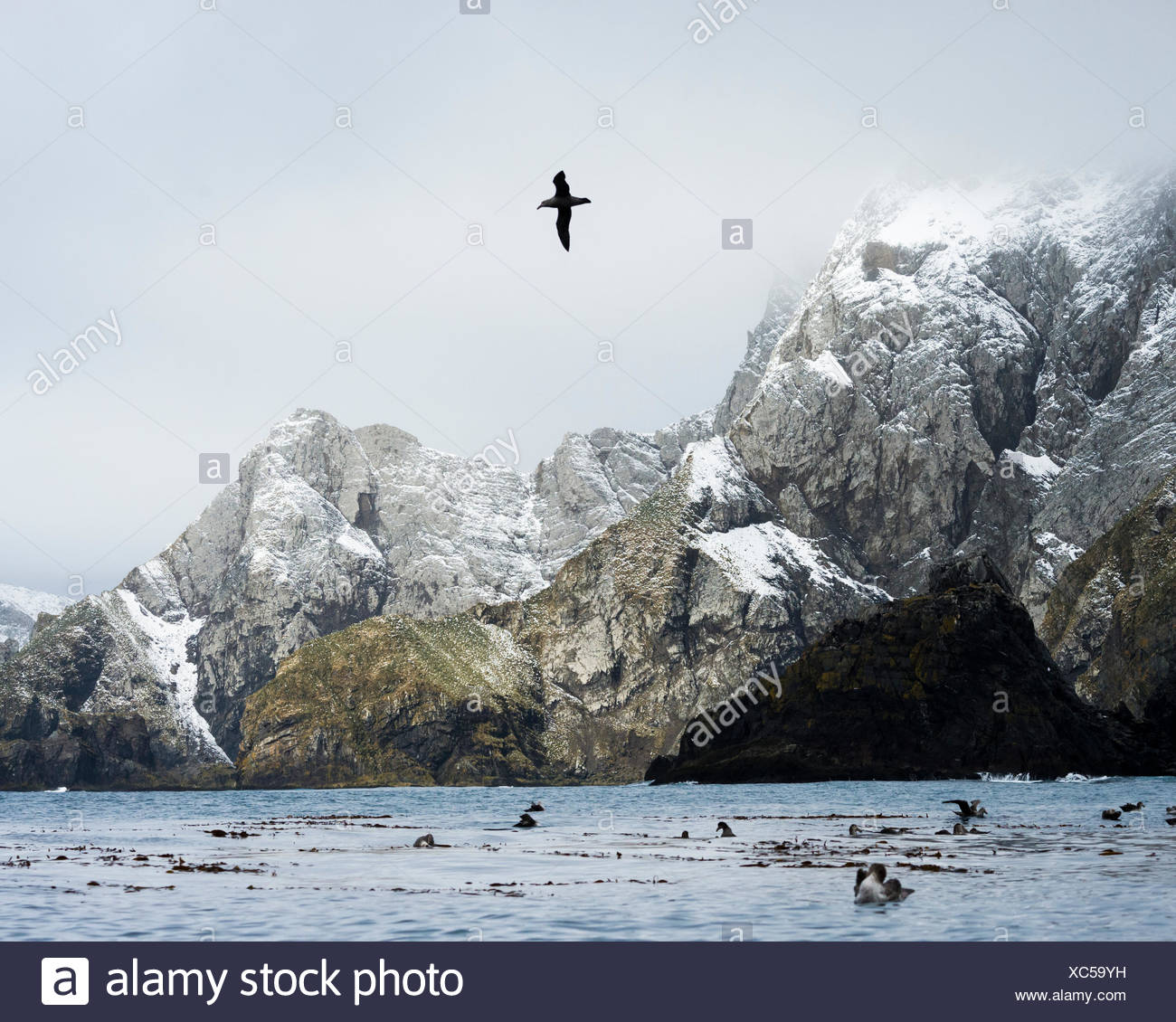 Birds in the water and one bird in flight along a rugged coastline of South Georgia Island - Stock Image