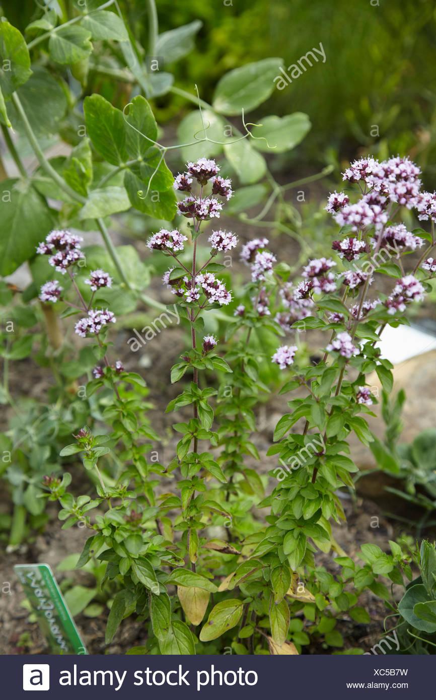 Marjoram Plant Growing In Herb Garden - Stock Image