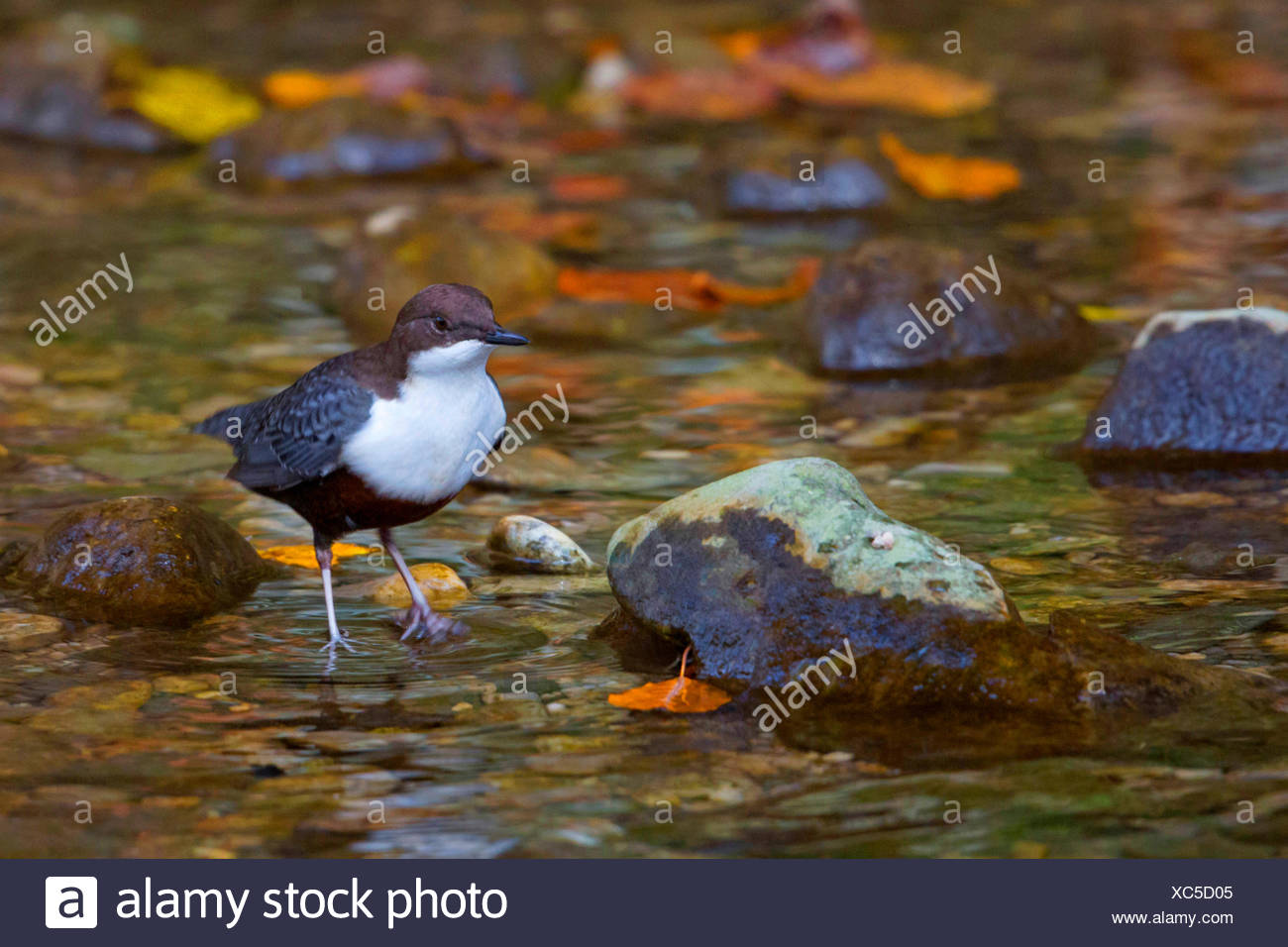 dipper (Cinclus cinclus), on the feed in a brook, Germany, Bavaria - Stock Image