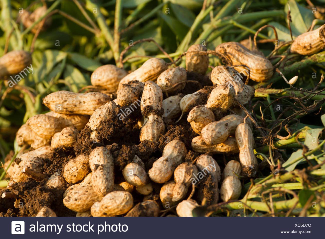 How peanuts grow 24