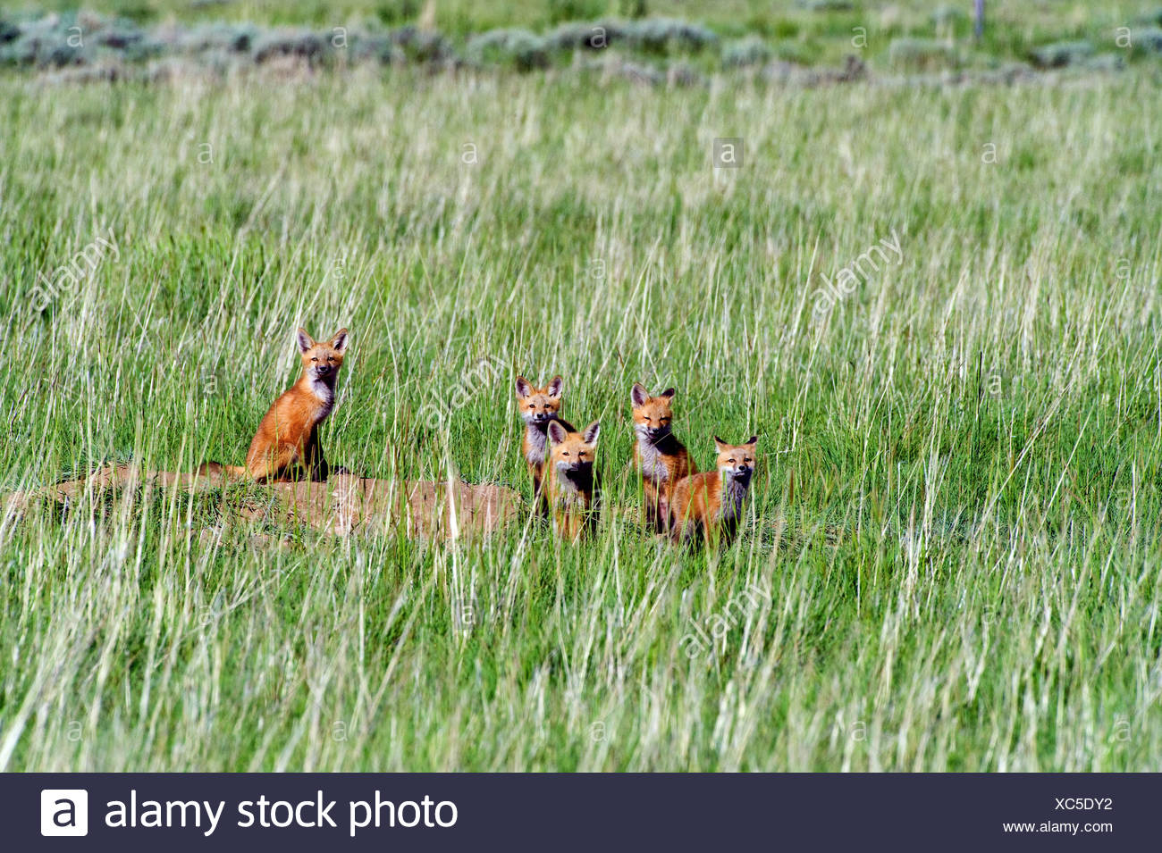Fox pups hanging out by den, near Saratoga, Wyoming. - Stock Image