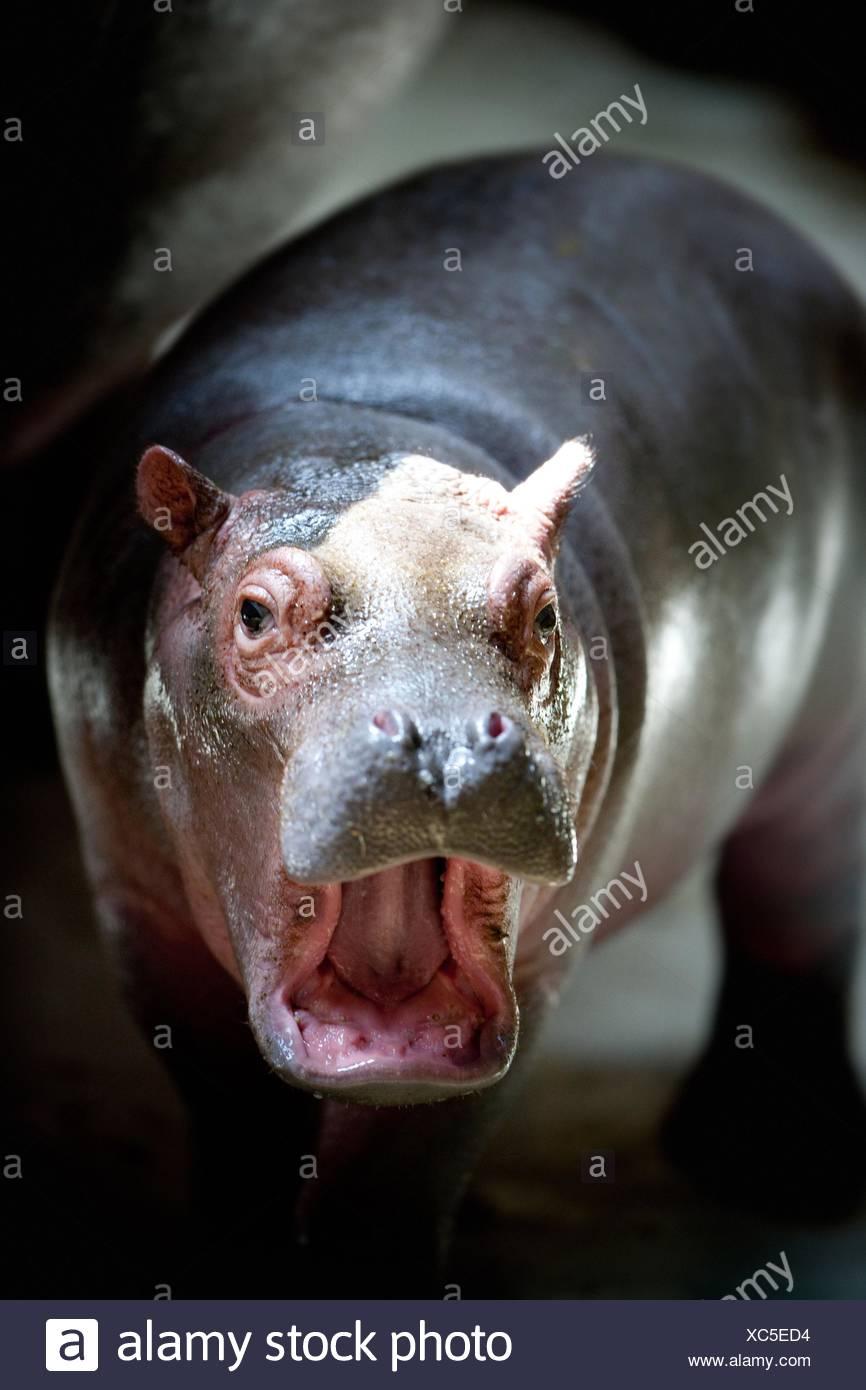 hippo - Stock Image