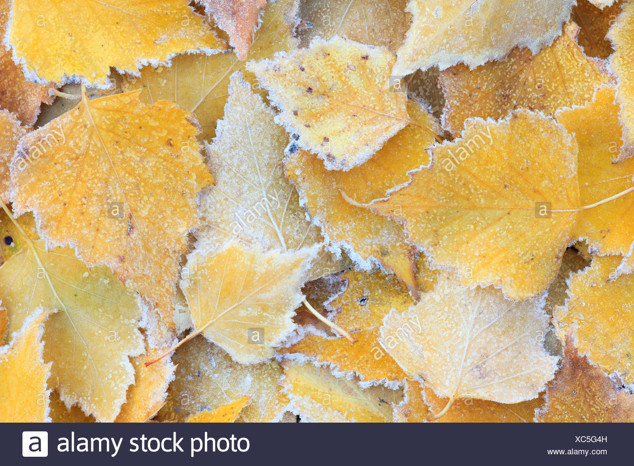 birch leaves with hoar frost on the ground, Switzerland - Stock Image