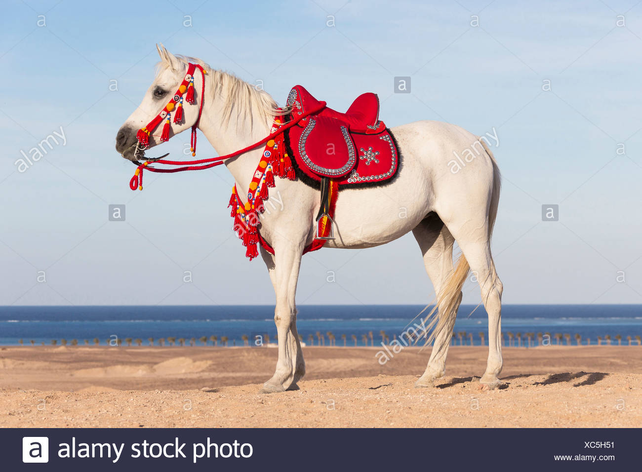 Purebred Arabian Horse Gray Mare With Traditional Saddle And Tack Standing On A Beach Stock Photo Alamy