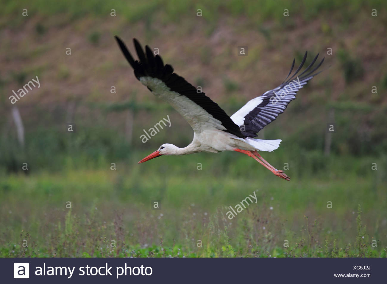 white stork (Ciconia ciconia), flying, Germany Stock Photo