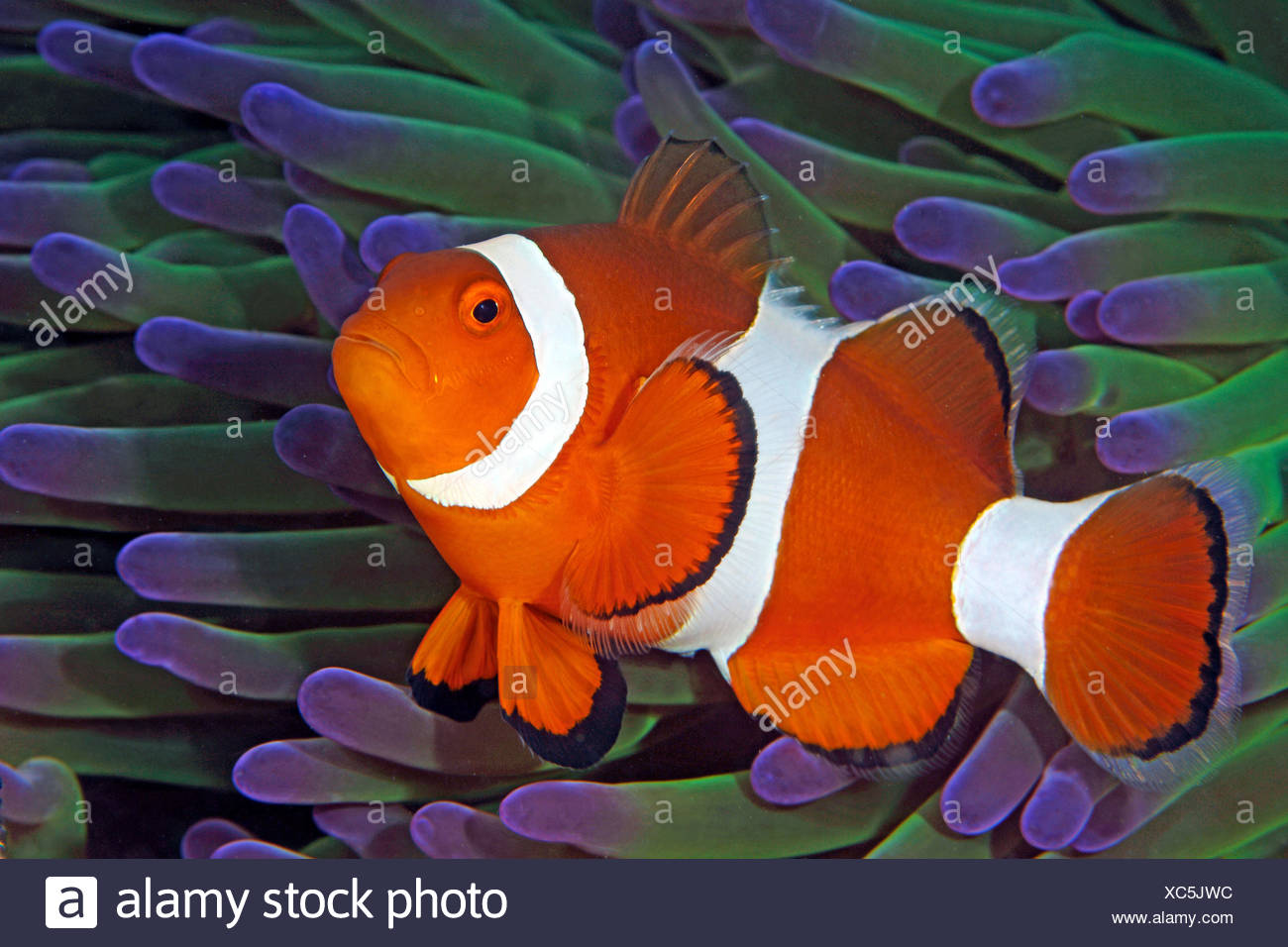 Magnificent Sea Anemone And Clownfish Stock Photos & Magnificent Sea ...