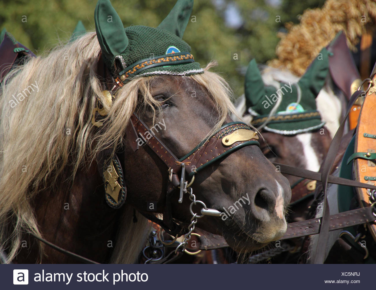 horse bit harness cold blooded animal ride horse austrians