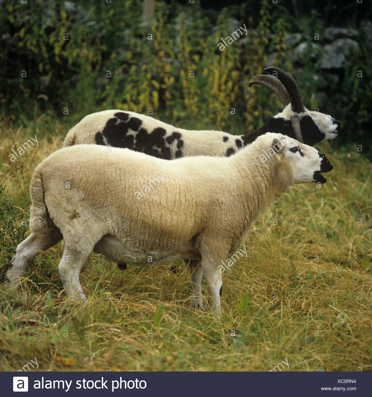 Jacob and Kerry hill rams bleating in upland grassland in Snowdonia North Wales - Stock Image
