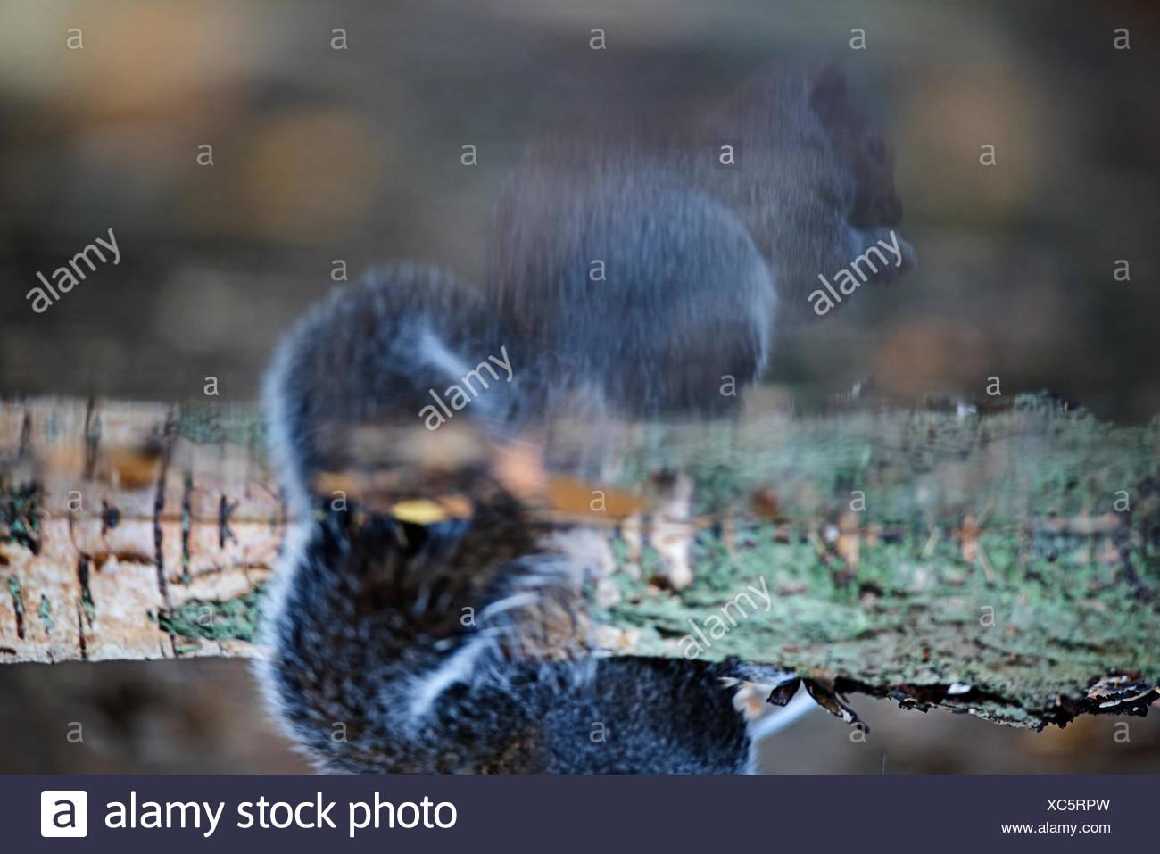 Reflection of Grey squirrel Sciurus carolinensis in pool Norfolk autumn - Stock Image