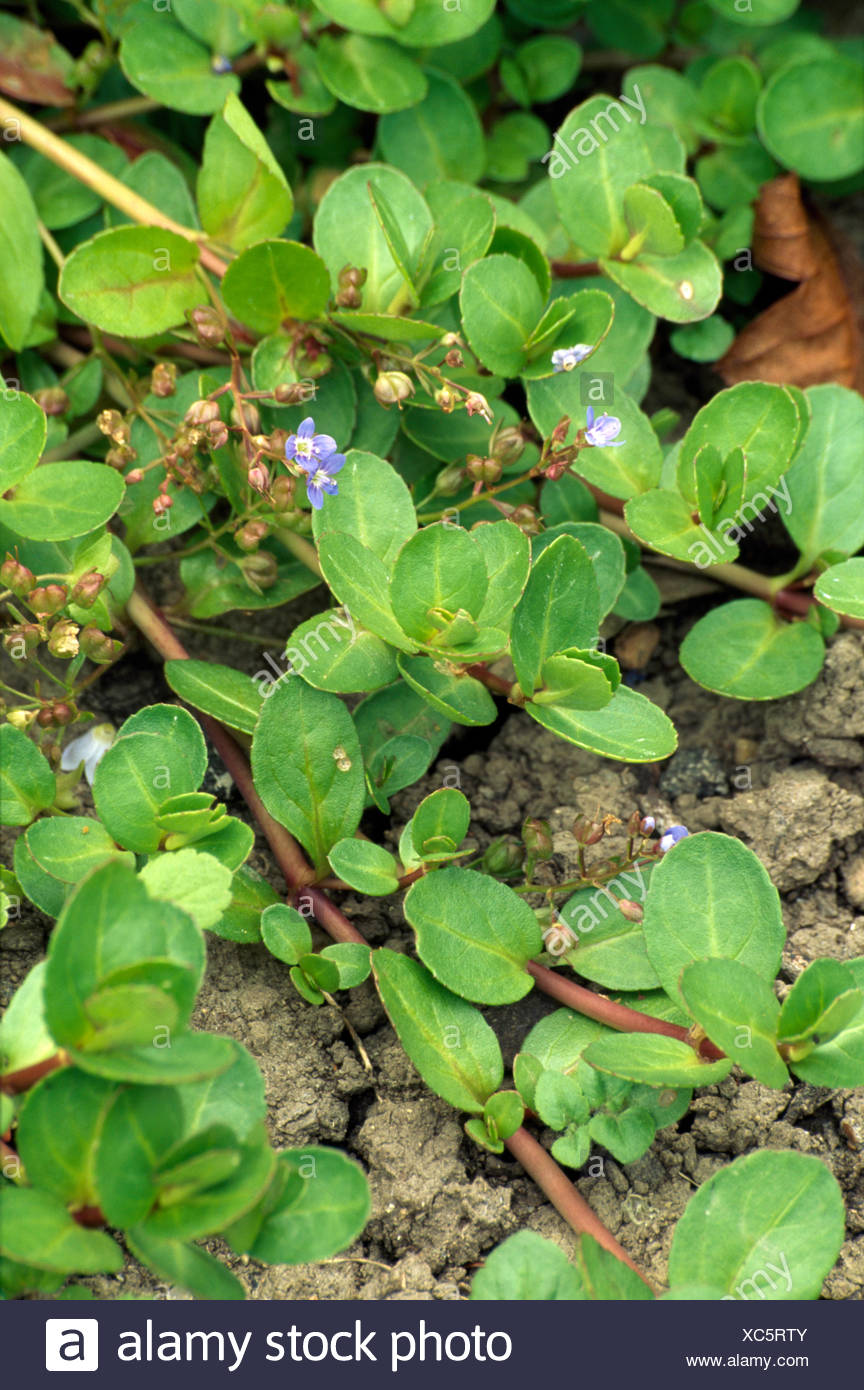 Close Up Of A Green Creeping Perennial With A Small Blue Flower