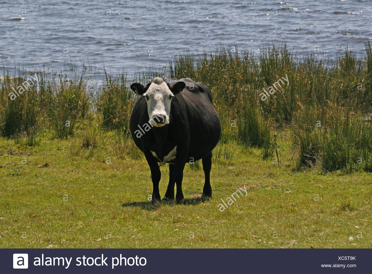 Cow on Bodmin Moor, Colli Ford Lake, Cornwall, southwest England - Black cow with white face at the Colli Ford lake, Cornwall, E - Stock Image