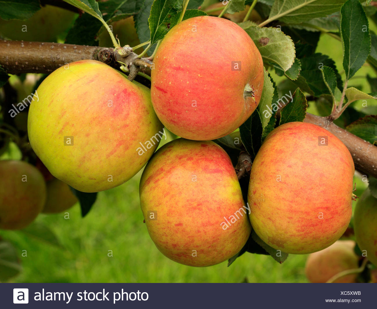 Apple, 'Lynn's Pippin', variety growing on tree, fruit apples England UK - Stock Image