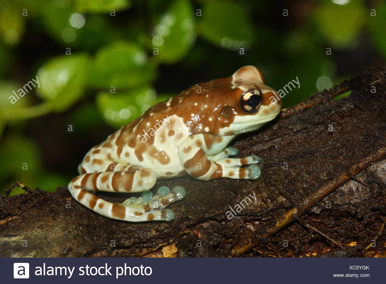 Toad foliage frog, - Stock Image