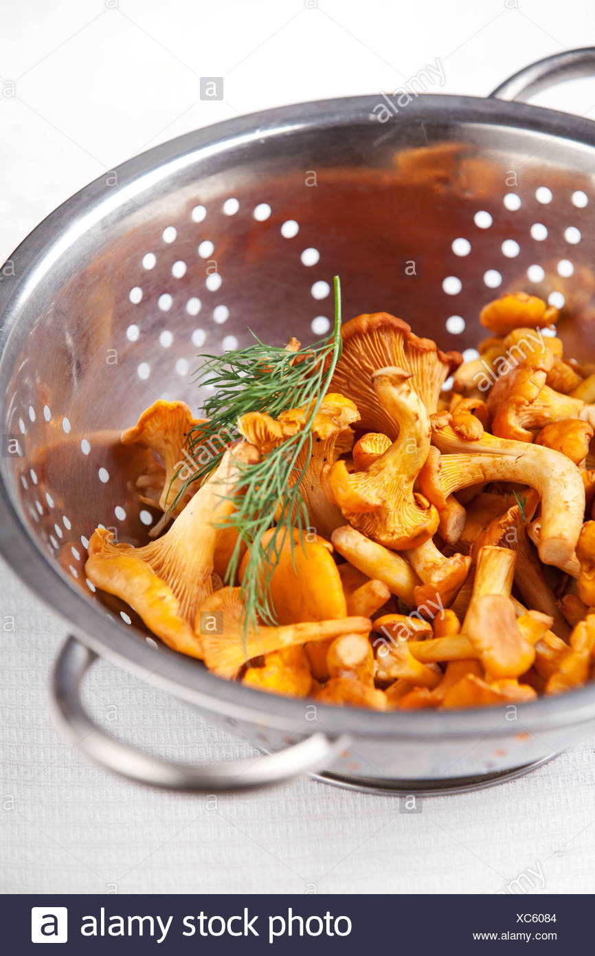 Raw chanterelles in metal colander on white background texture - Stock Image
