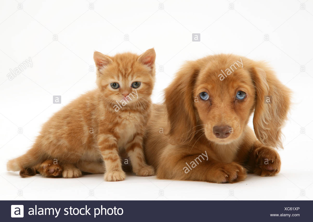 Cream Dapple Miniature Long-haired Dachshund puppy with British