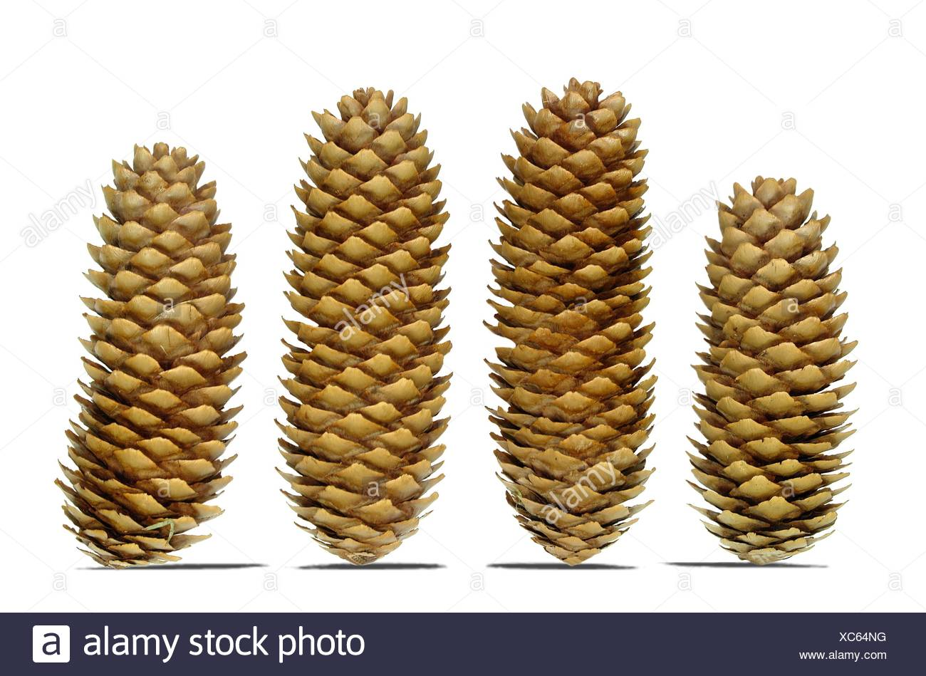 tree woods conifer - Stock Image