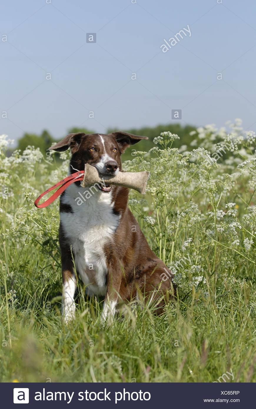 dog apports Dummy - Stock Image