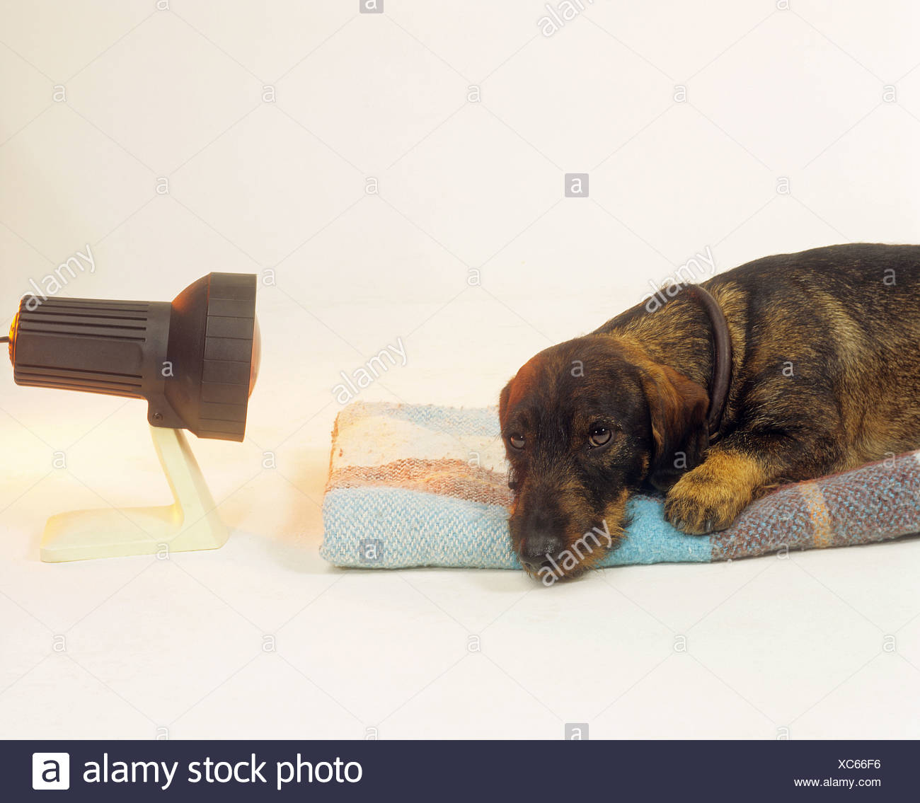 wire-haired dachshund with infra red lamp - Stock Image