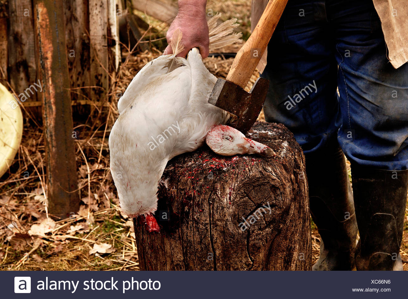 Home slaughtering (duck), farmer holding duck to bleed out on the hack stick, Eckental, Middle Franconia, Bavaria, Germany, Eur - Stock Image