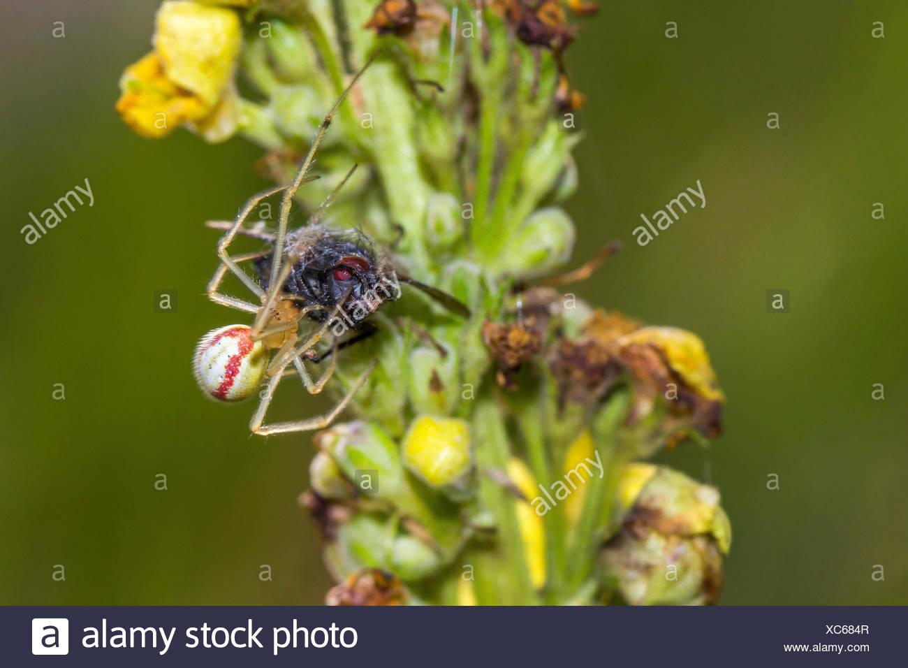 Rotweiss-Spinne, Rotweissspinne, Rotgestreifte Kugelspinne (Enoplognatha ovata, Enoplognatha lineata, Theridion redimitum), mit  - Stock Image