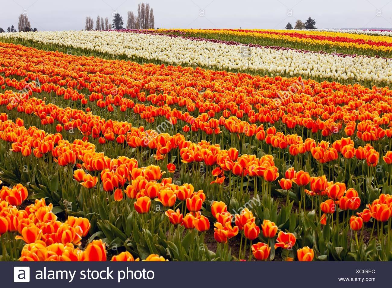 Red Orange White Tulips Flowers Field Skagit Valley Farm Washington