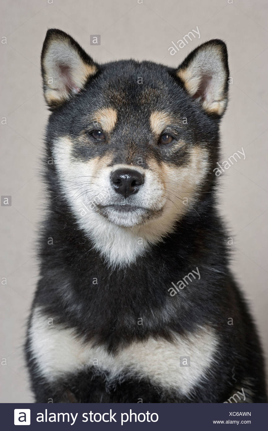 Portrait of adult female Shiba Inu dog - Stock Image