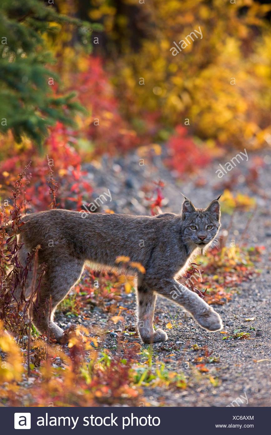 A wild lynx, Denali National Park, Alaska. - Stock Image